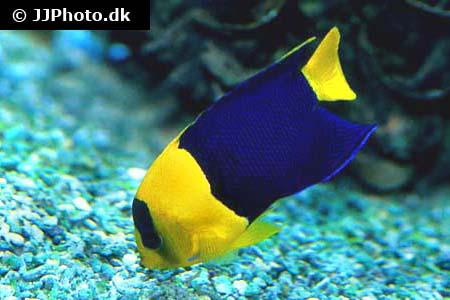 Corydoras species c127 2