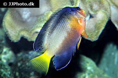 Corydoras species cw009 4