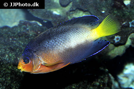 Corydoras species cw009 5
