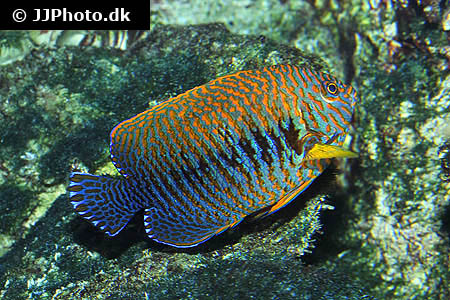 Corydoras species cw012 2