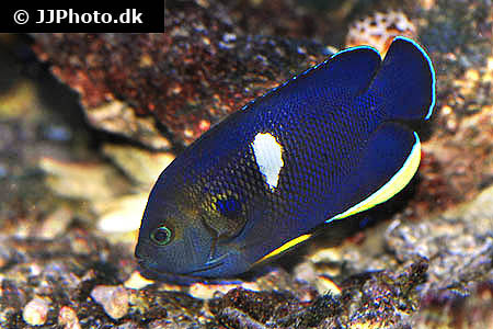 Corydoras species cw014 2
