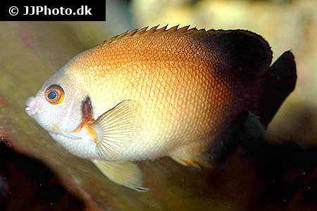 Corydoras species cw019 1