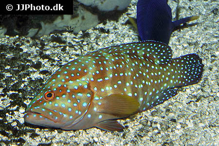 Corydoras species cw028 1