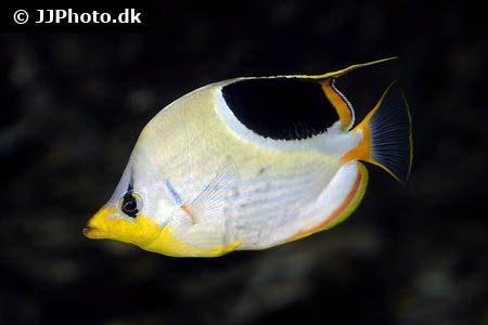 Corydoras species cw044 8