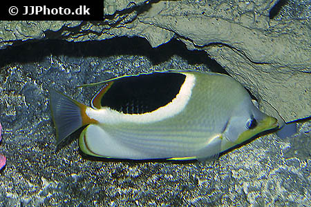 Corydoras species cw048 2