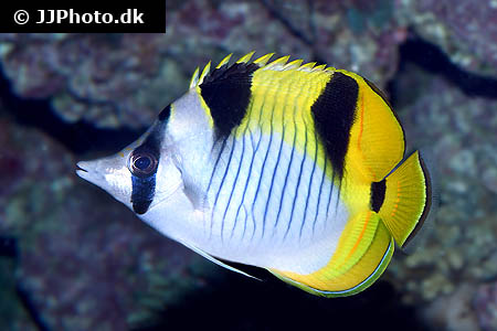 Corydoras species cw051 4