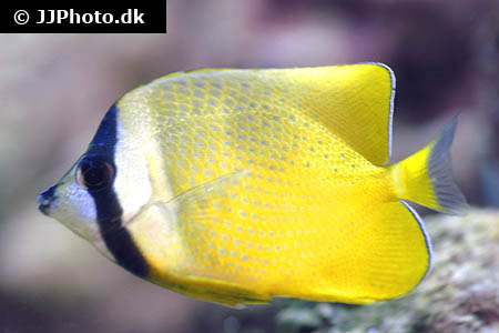 Corydoras species cw073 2