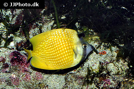 Corydoras species cw075 2