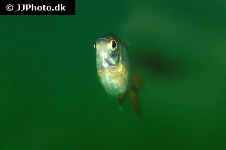 Rocio octofasciata electric blue 4